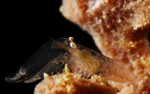 Crevette sur son éponge hôte