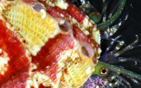 Haliotidé (ormeau) avec ses tentacules déployés © Laurent Charles/ MNHN