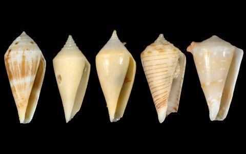 Quelques représentants du genre Profundiconus