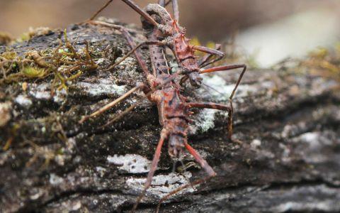 Un couple de phasmes (Asprenas sp.) endémiques de Nouvelle-Calédonie, découvert lors du volet forestier de l'expédition