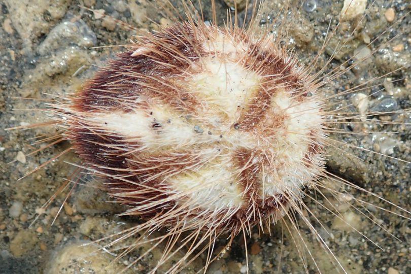 Fig1. Mollusque parasite de la famille des Eulimidae, du genre Hypermastus, sur un oursin, Lovenia elongata ©  Tsuyoshi Takano / MNHN