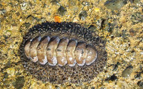 Acanthopleura gemmata, est la plus grande espèce de chiton (10 à 12 cm) de Nouvelle-Calédonie. Commune, c'est la seule espèce qui est mangé en Nouvelle-Calédonie  © Hermann Strack / MNHN