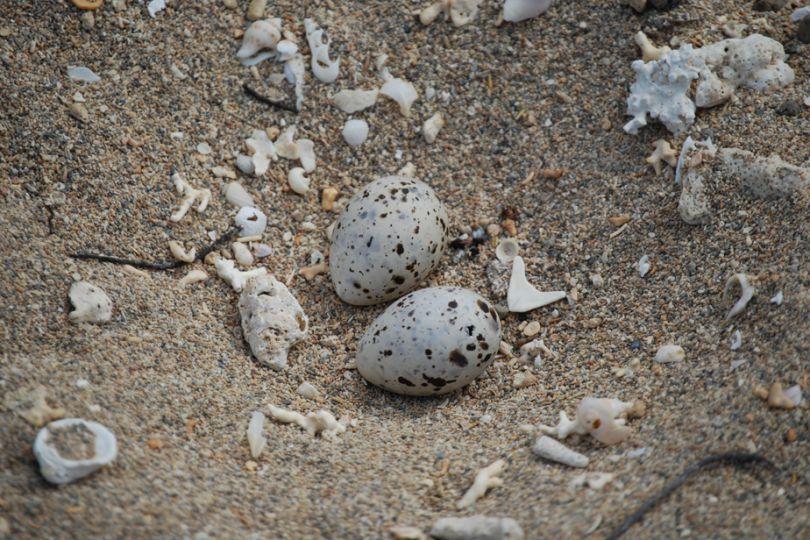 Les œufs sont très vulnérables au piétinement car à peine visibles sur le sable © Projet Sterne néréis / Province Nord