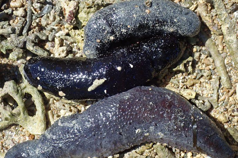 Fig2. Eulimidae, du genre Melanella, parasitant un concombre de mer, Holothuria atra, sur le récif corallien de l'Îlot de la Table © Yasunori Kano / MNHN