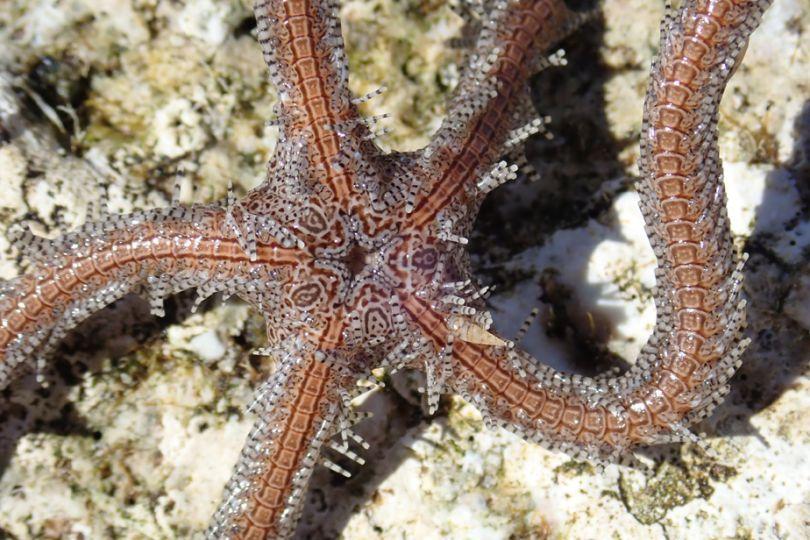 Fig4a. Eulimidae du genre Hemiliostraca parasitant une étoile de mer, Ophiomastix annulosa, sur le récif corallien de l'Îlot Kendec © Yasunori Kano / MNHN