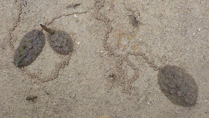 L'onchidie, limace pulmonée de mangrove © Carole Bernard / MNHN