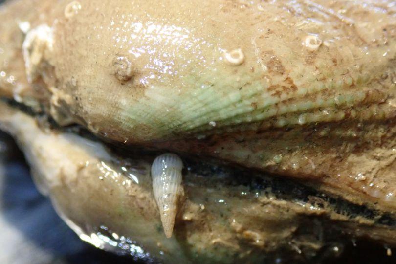 Fig8. Mollusque de la famille des Pyramidellidae, du genre Turbonilla parasitant un bivalve Barbatia sp. cf. lima © Tsuyoshi Takano / MNHN