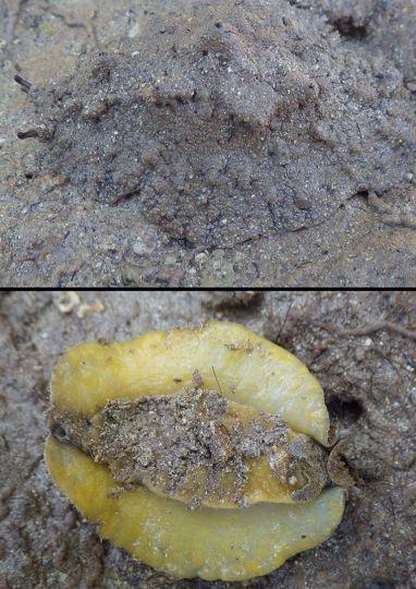 Espèce d'onchidie jaune © Adam Bourke / MNHN