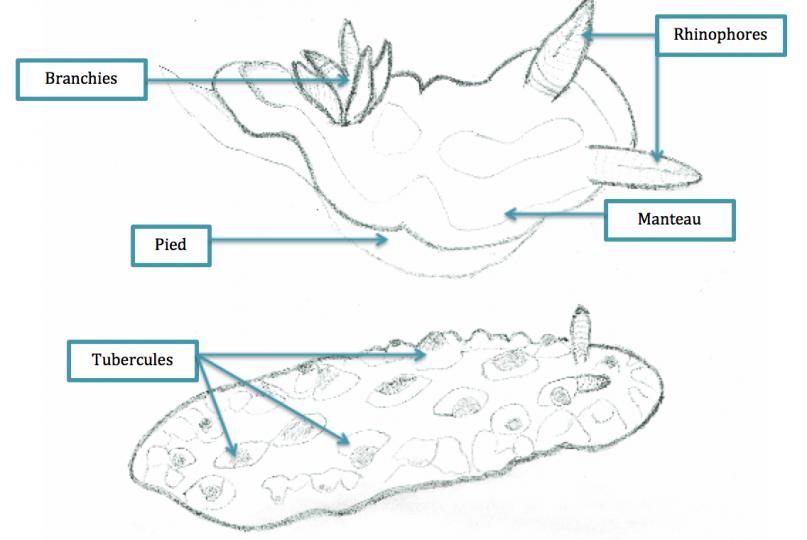 Croquis anatomiques de quelques limaces de mer © Carole Bernard / MNHN