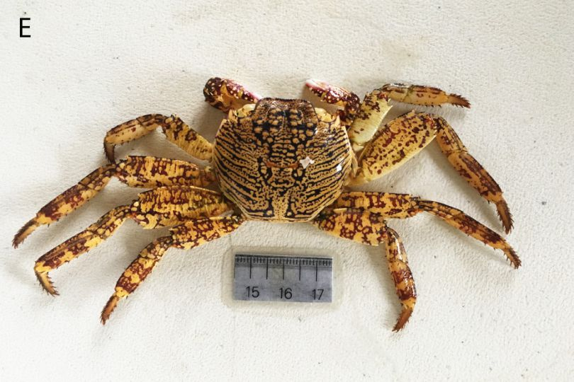 Mue de crabe Grapsidae © Elise Trinquet / MNHN