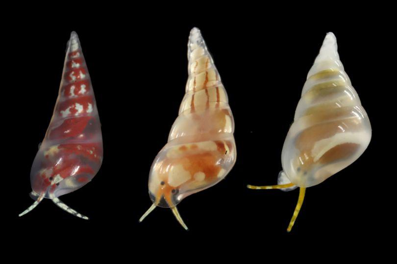 Trois Eulimidae aux coquilles assez proches mais aux couleurs et motifs du corps différents