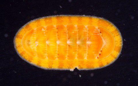 Rhyssoplax sp., chiton de couleur vive  © Laurent Charles/ MNHN