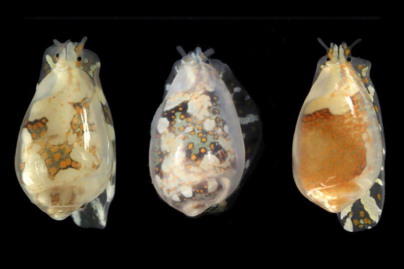 Trois Marginelles aux coquilles similaires et aux motifs du corps différents.