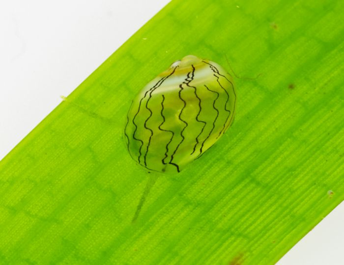 Mollusque mimétique sur une feuille d'herbier © Laurent Charles / MNHN