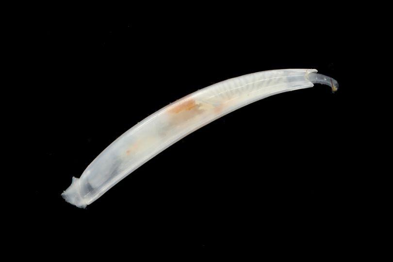 Spécimen de Scaphopode